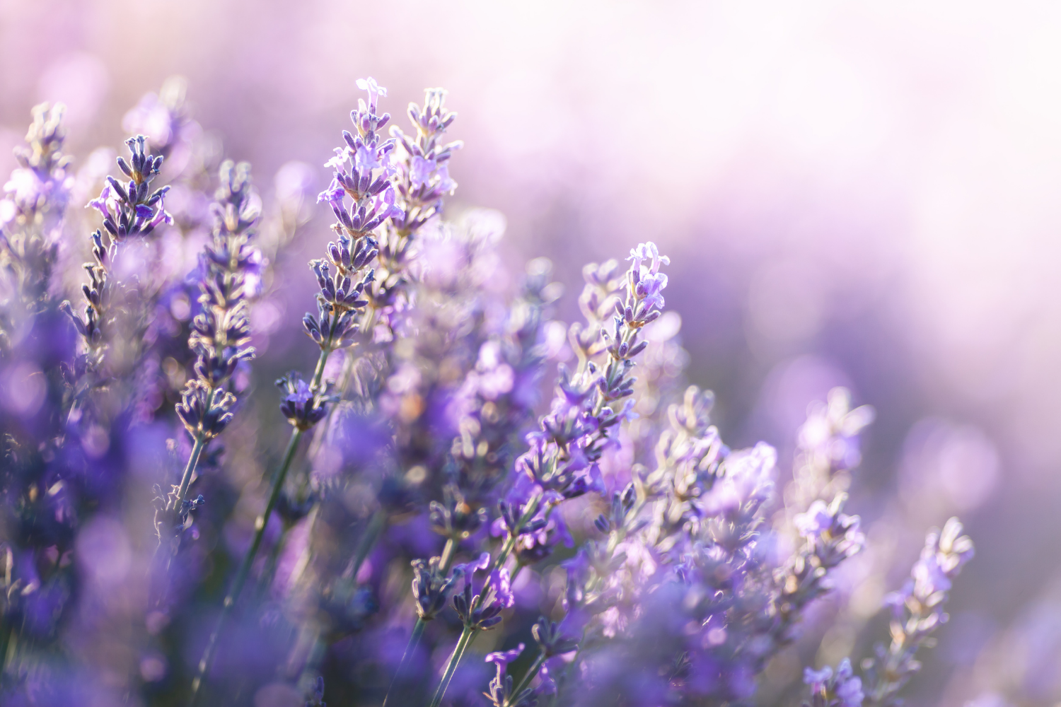 lavender oil for hair
